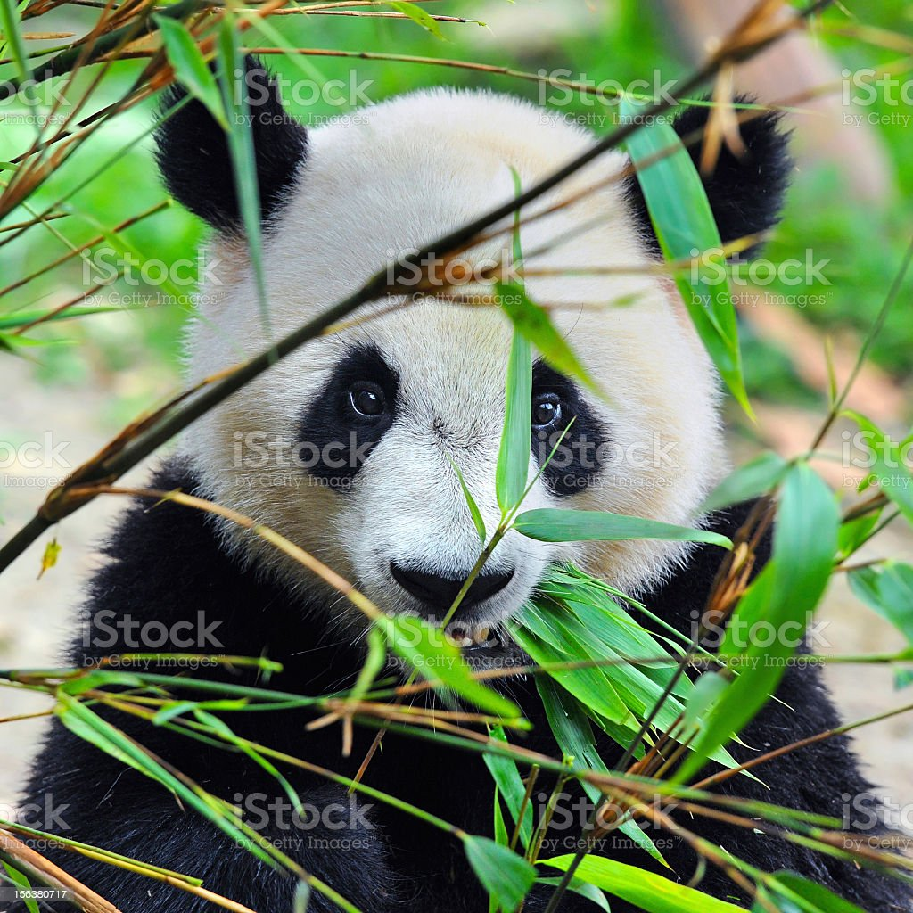Giant panda bear with bamboo plants stock photo