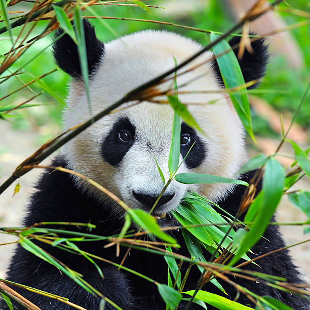 giant panda bear - panda stock-fotos und bilder