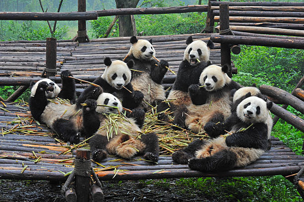 большая панда несет ест бамбук питание - заповедник дикой природы стоковые фото и изображения