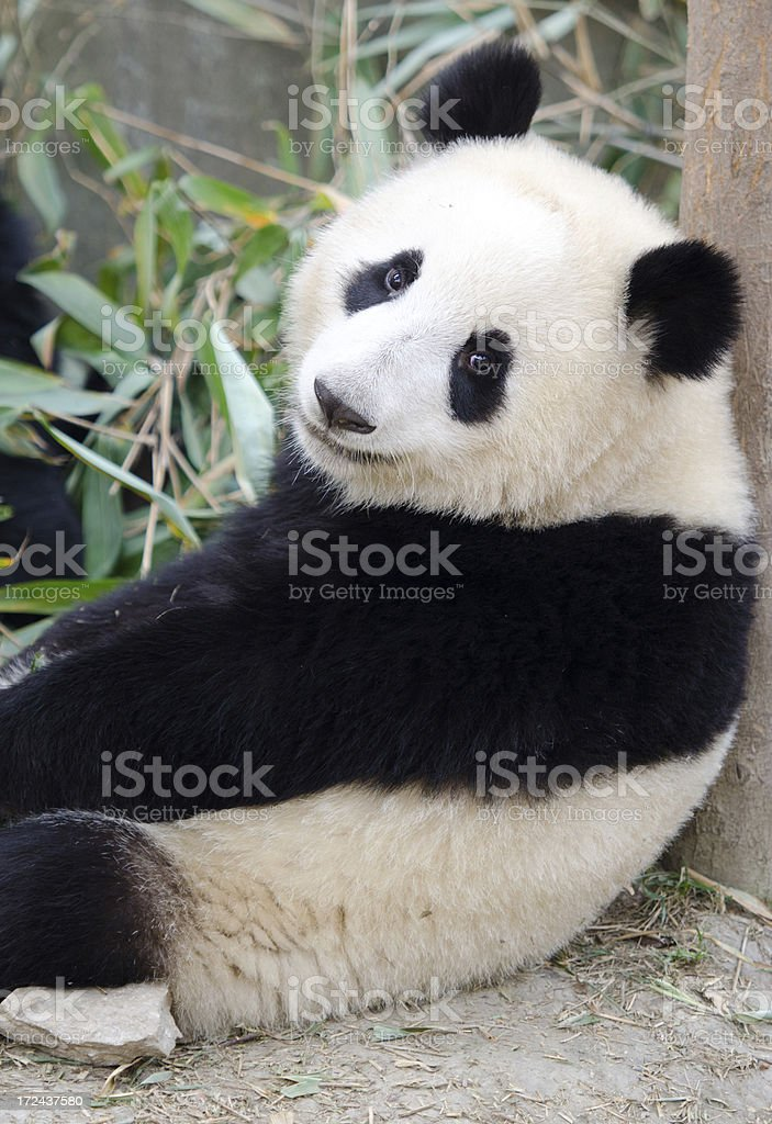 Giant Panda - China stock photo