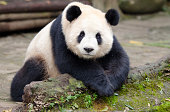 Giant Panda posing for camera - Chengdu, China.