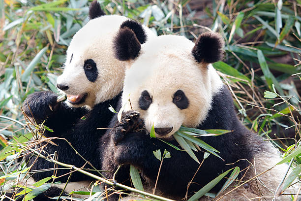Panda géant-Chine - Photo