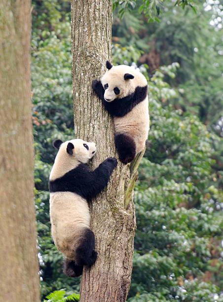 Panda géant Cubs à jouer-Chine - Photo