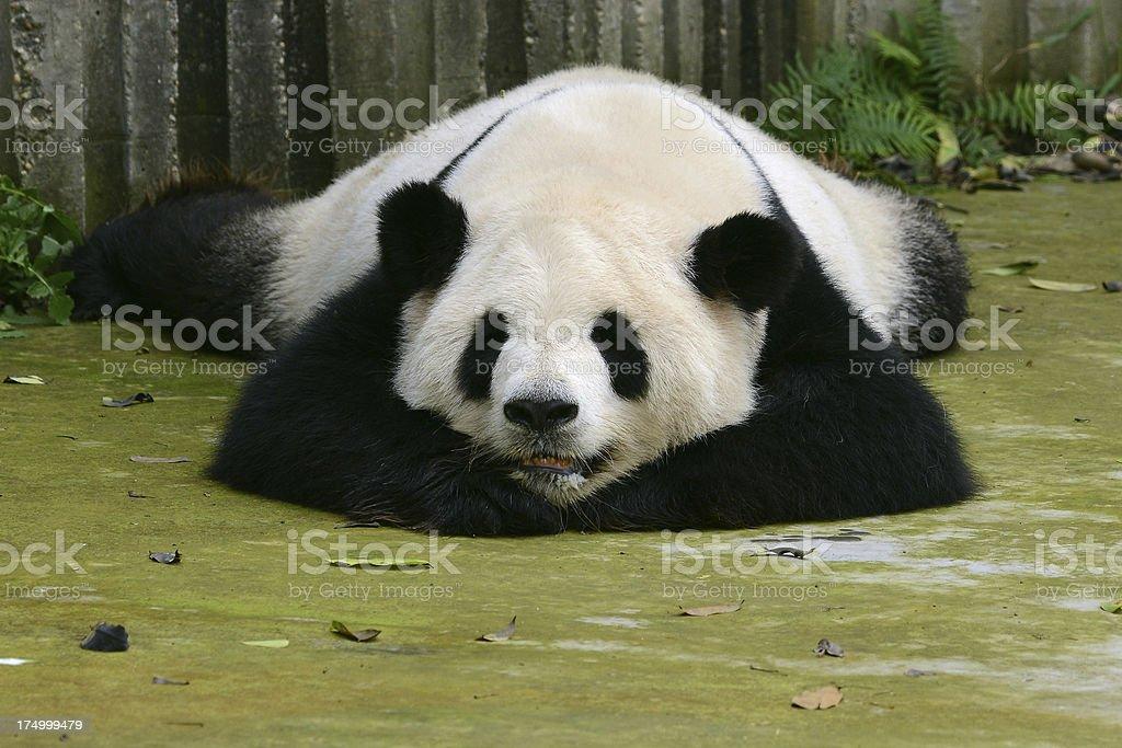Giant panda cute sleeping royalty-free stock photo