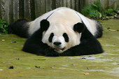 Giant Panda, ailuropoda melanoleuca, Adult sleeping, Wolong Reserve in China