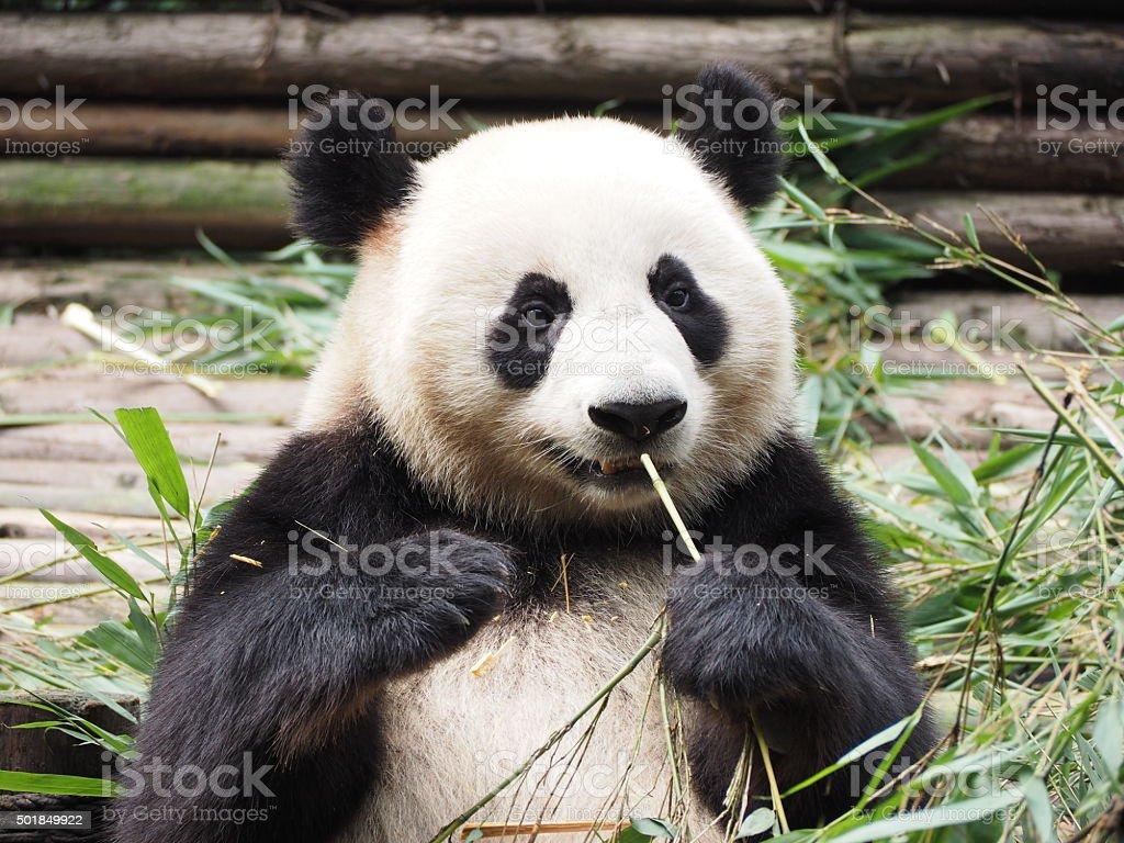 Giant Panda eating bamboo in Chengdu Sichuan province China stock photo
