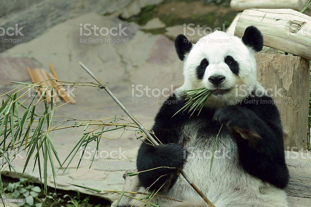 Giant panda eating bamboo leaf stock photo
