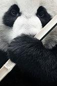 Giant Panda eating bamboo.