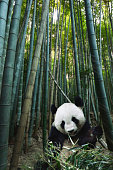 Giant panda in a bamboo forest.