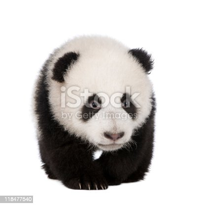 istock Giant Panda (4 months) in front of white background 118477540