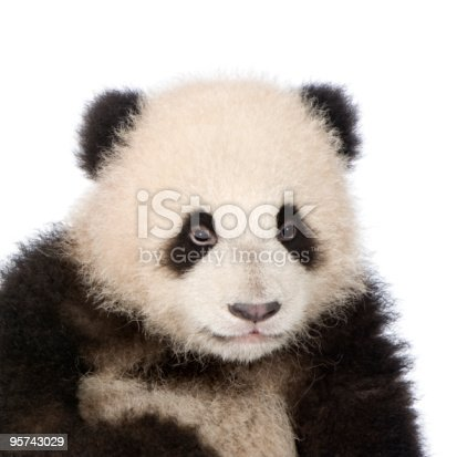 istock Giant Panda in front of white background 95743029