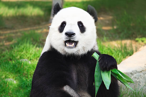 Giant Panda looking into camera holding green leaves