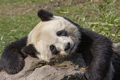 Relaxed giant panda resting on a rock.