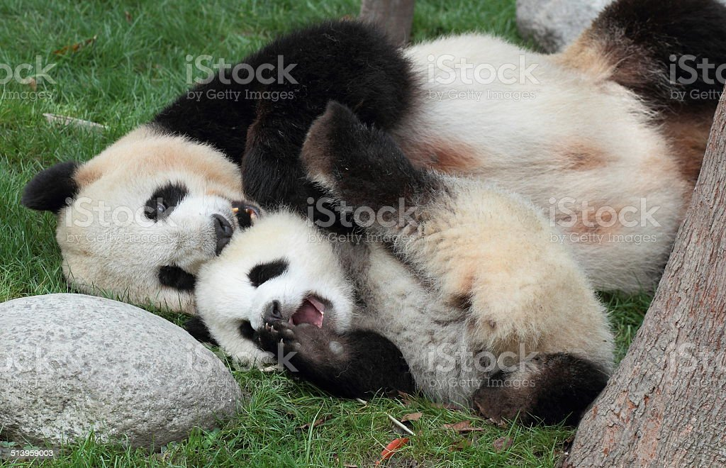 Giant panda mother-child stock photo