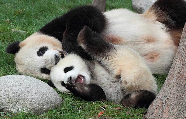 Giant panda mother-child stock photo