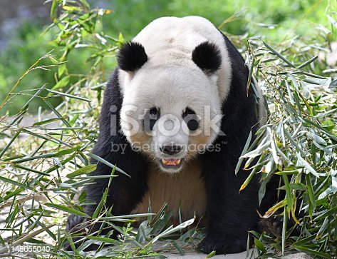 Giant Panda surrounded by bamboo