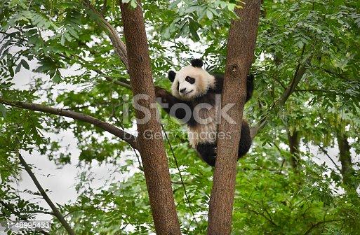 Giant Panda climbs in a tree