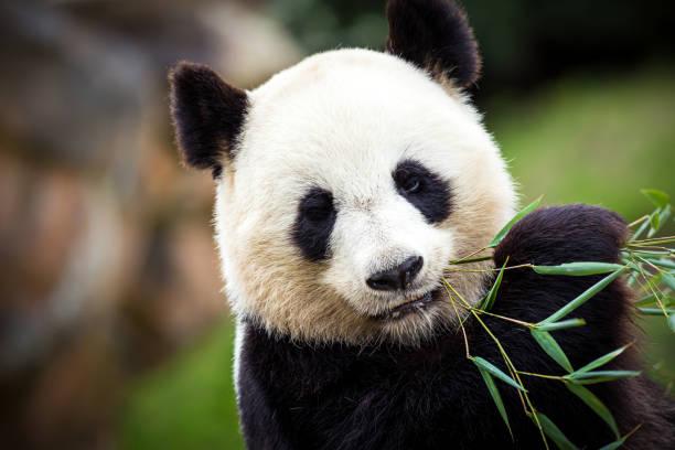 panda géant - panda photos et images de collection
