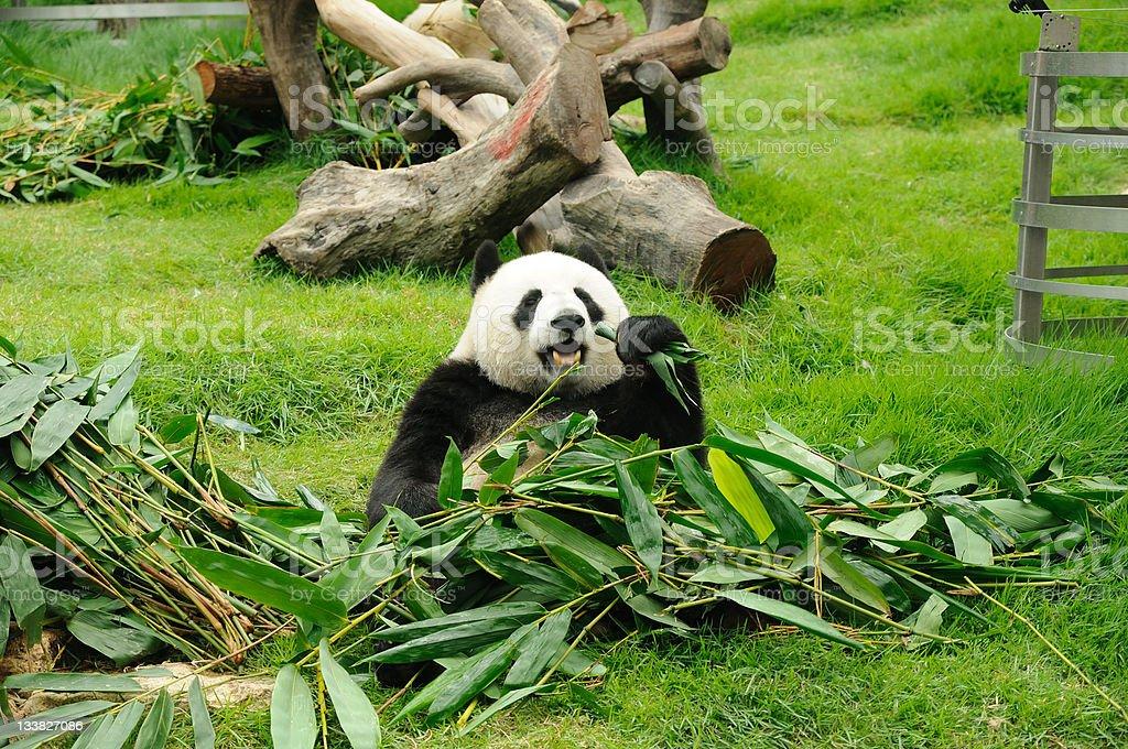 Giant panda Giant panda eating bamboo leaf Animal Stock Photo