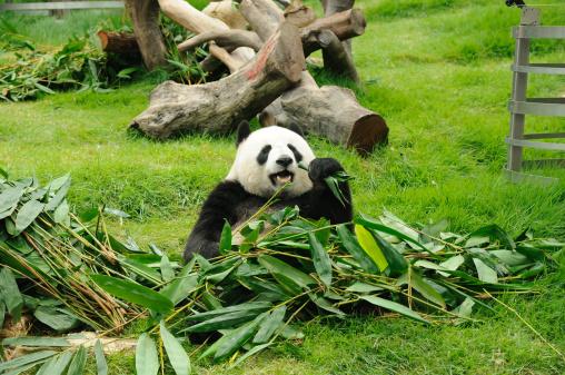 Giant Panda Stock Photo - Download Image Now