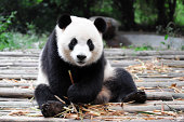 A lovely giant panda is smiling and looking at camera