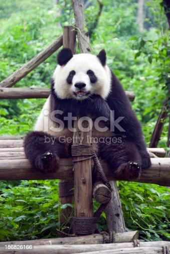 istock Giant Panda 186826166