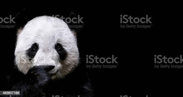 Giant panda picture id483807166?b=1&k=6&m=483807166&s=612x612&h=hgenu ysf9 n2l1 cubrqmi6qzomexzcqbzbvtlu vy=