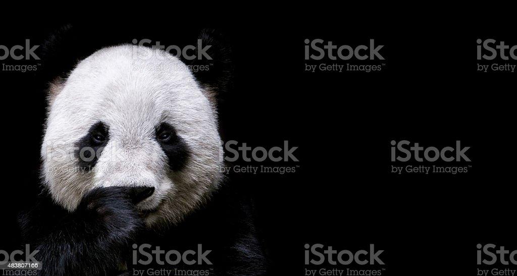 Panda gigante - foto de stock