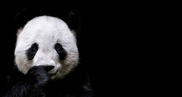 giant panda - wildlife stock pictures, royalty-free photos & images