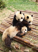 Pandas in a wildlife reserve in China