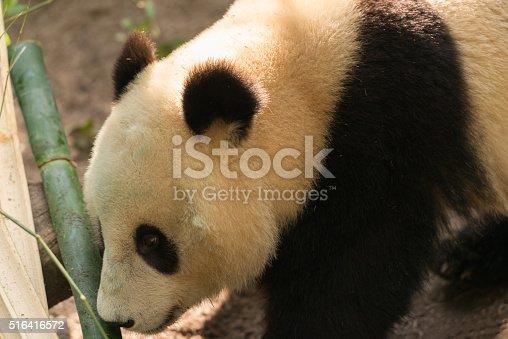 istock Giant Panda 516416572