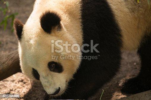 istock Giant Panda 522744466