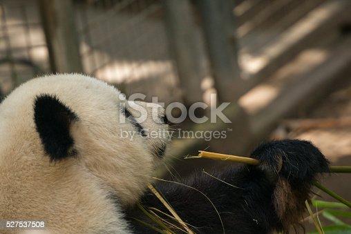 istock Giant Panda 527537508