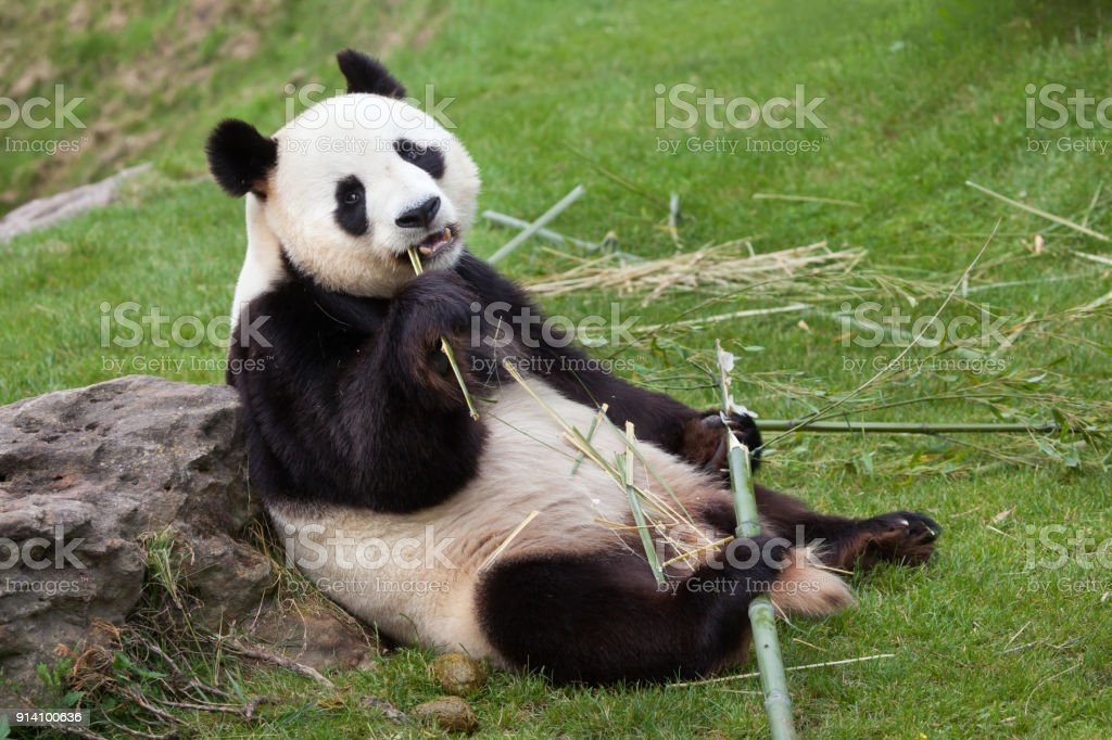 Giant panda (Ailuropoda melanoleuca). stock photo