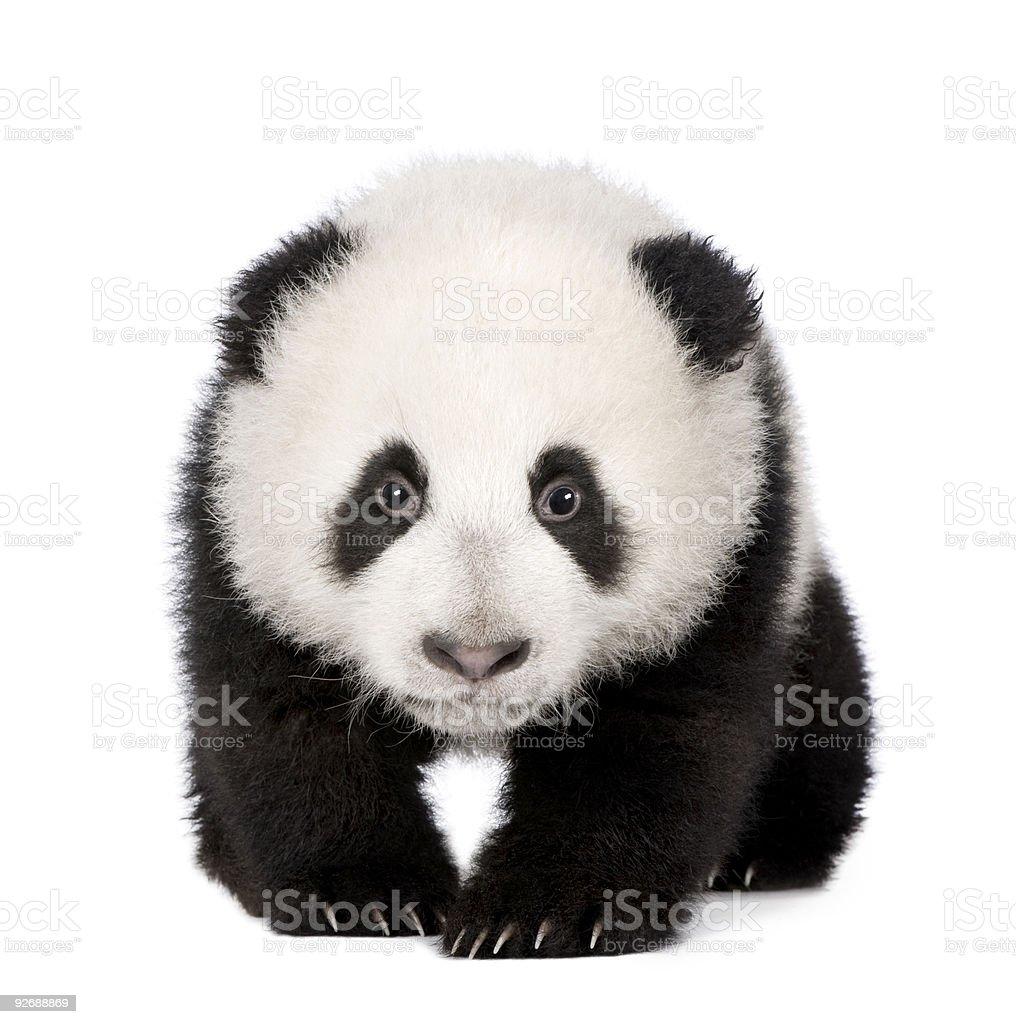 Giant Panda (4 months) stock photo