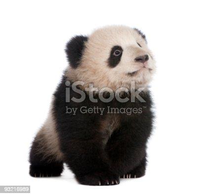 istock Giant Panda (6 months) 93216989