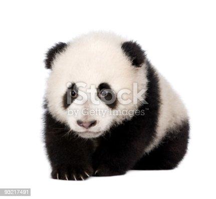 istock Giant Panda (4 months) 93217491