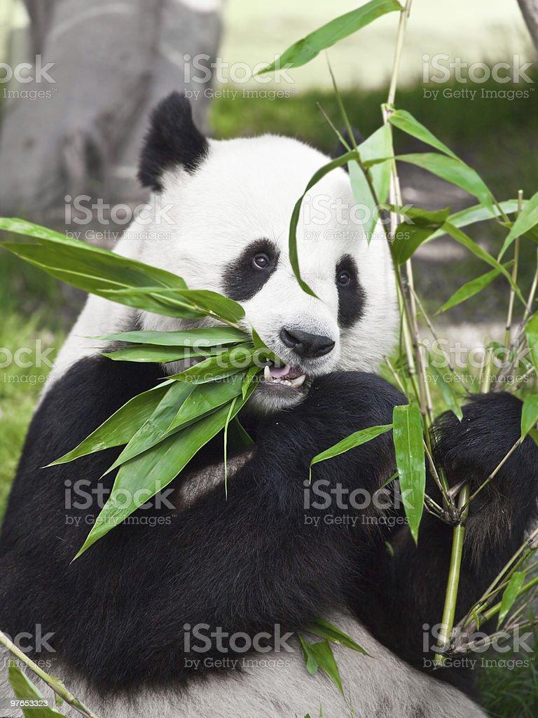 Giant panda royalty-free stock photo