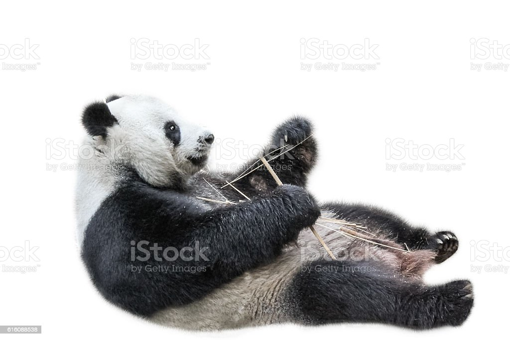 Giant Panda relaxing stock photo