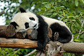 Giant Panda is resting on a platform made of trees in Chengdu,China.