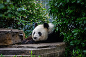 Wang Wang the giant panda rests on his chilled rock after a feed.