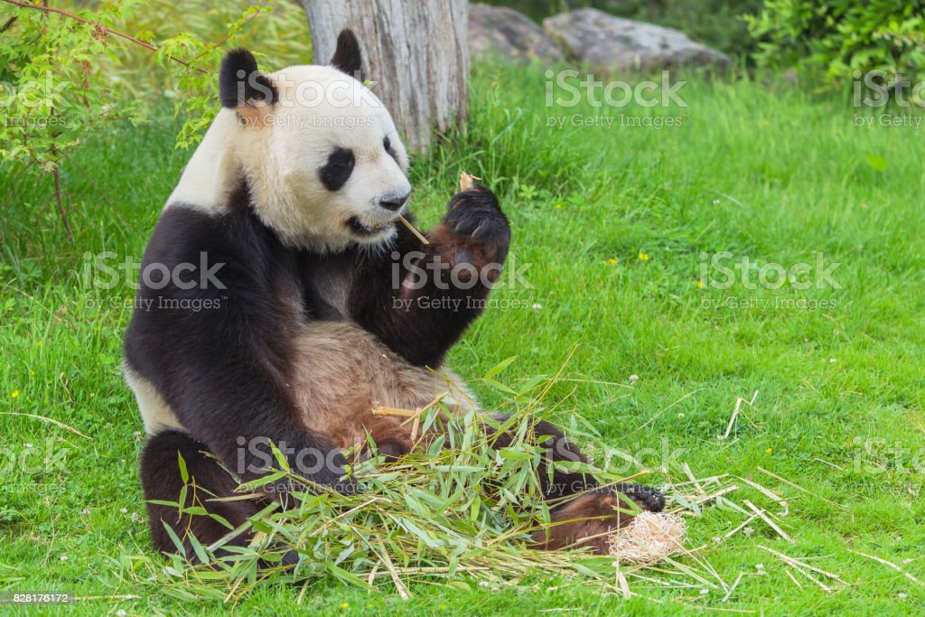 Giant panda sitting stock photo