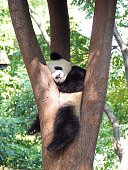 Giant panda sleeping on the tree at Chengdu Research Base of Giant Panda Breeding, Chengdu, China