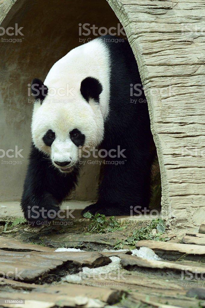 Giant panda walking royalty-free stock photo