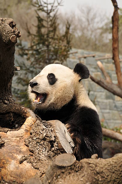 Giant panda with open mouth stock photo