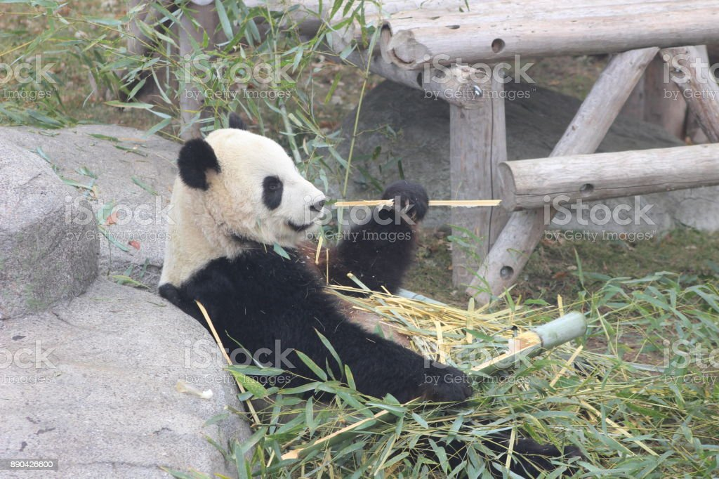 Giant pandas eating bamboo endangered bears stock photo