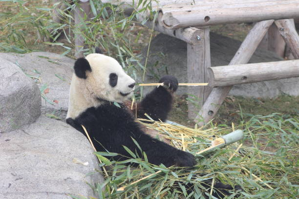 Giant pandas eating bamboo endangered bears stock photo