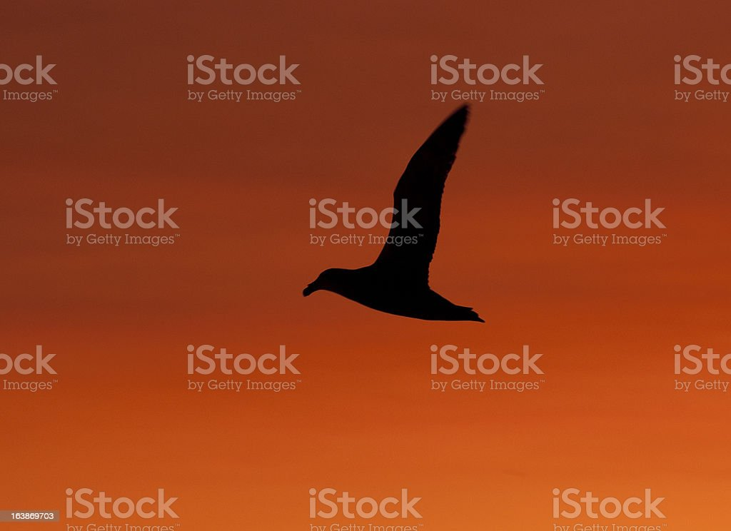 Giant petrel in the background of red evening sky stock photo