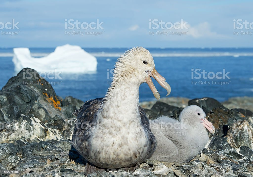 Giant petrel with chick in the nest stock photo