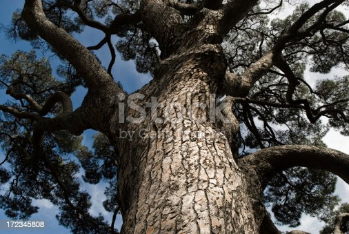 istock Giant Pine Tree 172345808